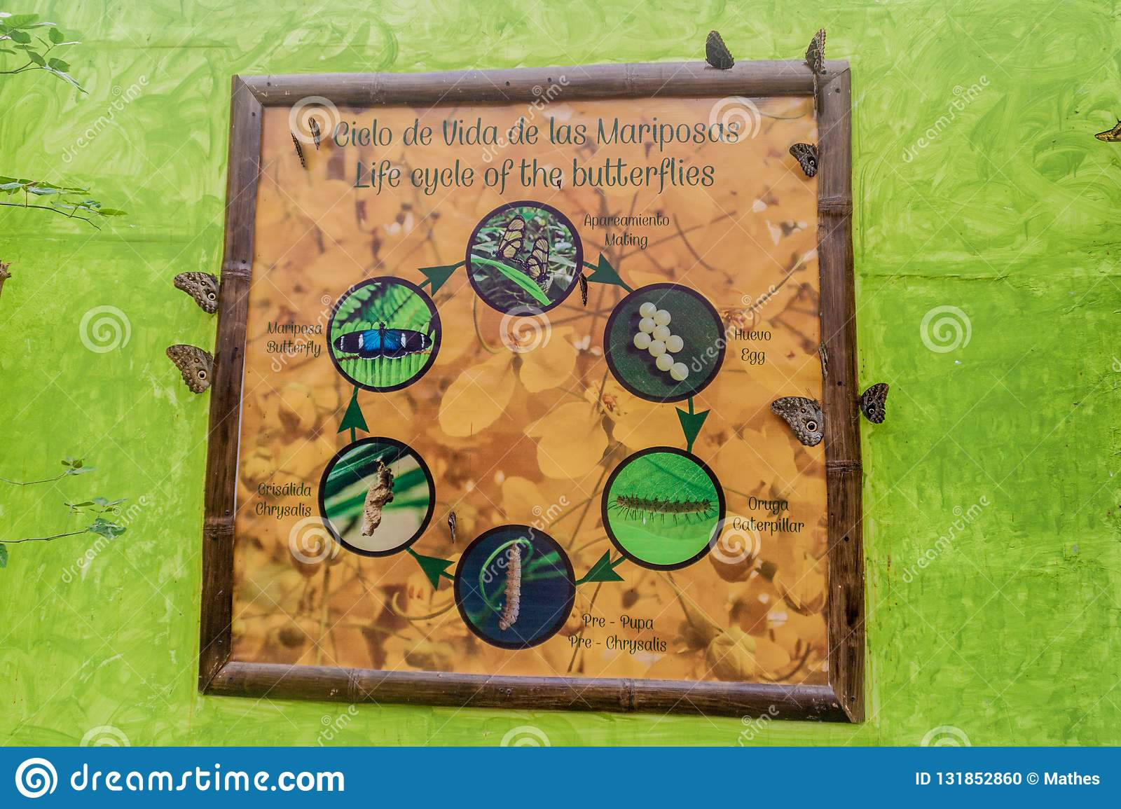 MINDO, ECUADOR - JUNE 27, 2015: Butterfy life cycle poster in Mariposario The Butterfly House in Mindo, Ecuad