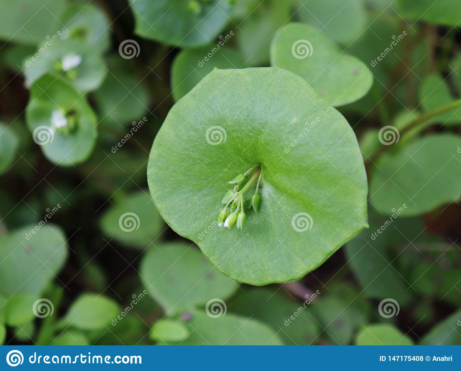 Miner`s Lettuce, Winter Purslane ,Claytonia perfoliata . You can use them in fresh vegetable salads. The Winter Purslane