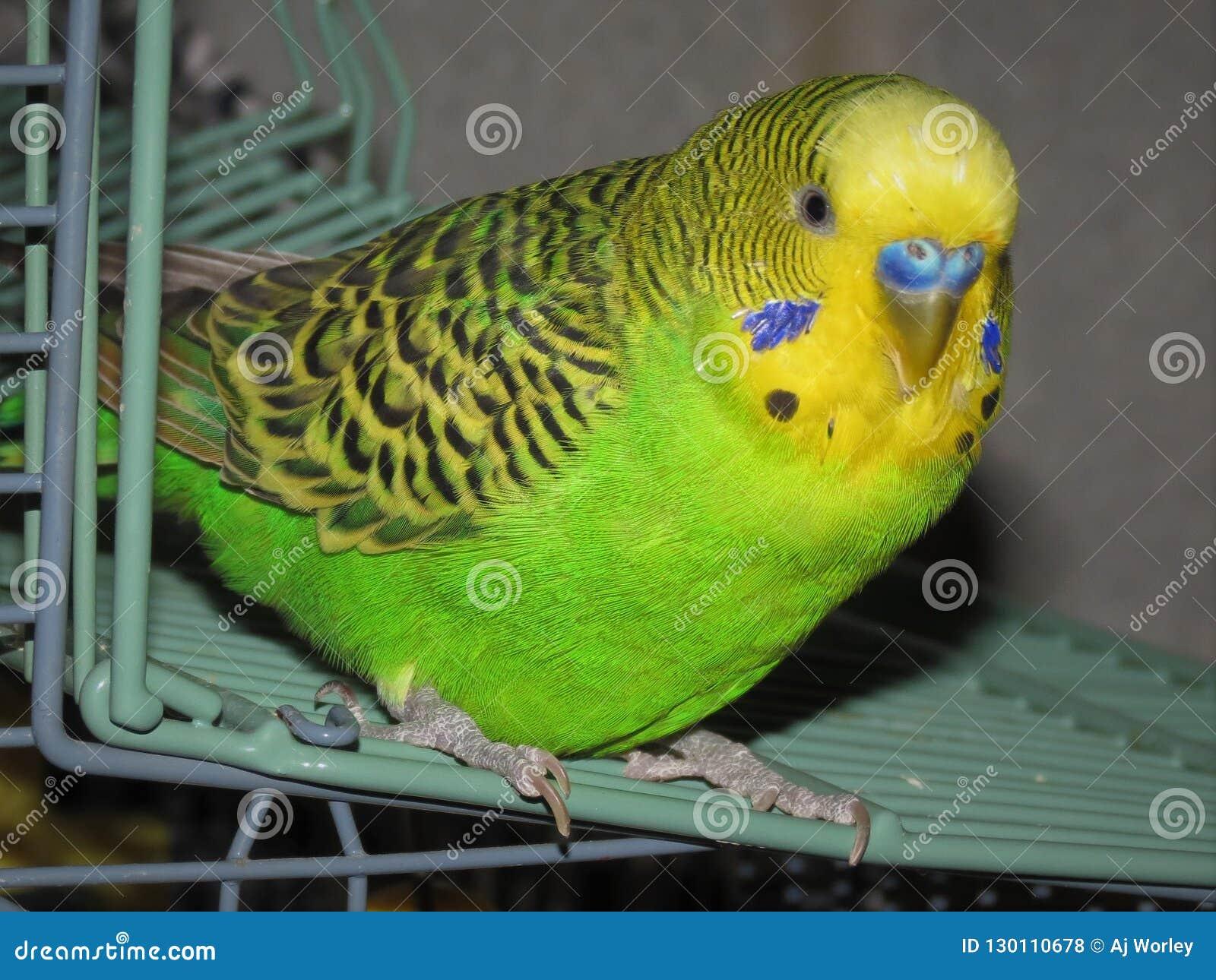Minha palavra da Dinamarca do pássaro em sua gaiola a dizer olá!