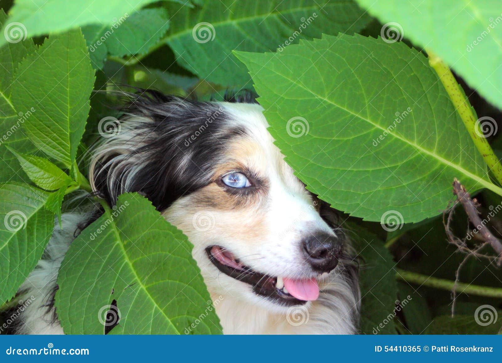 Dog Playing Peek A Boo
