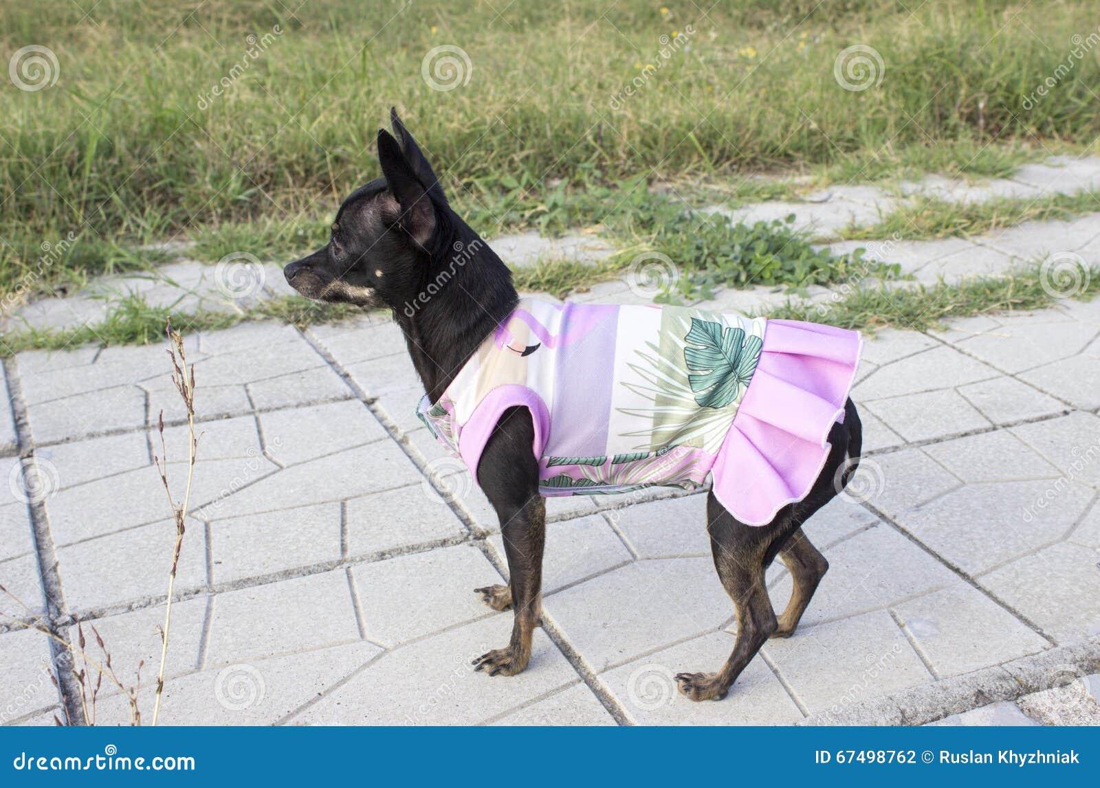 Mini cão do pincher em um vestido