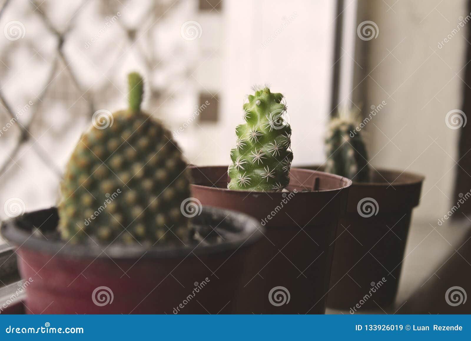 Mini Cactus Dans Le Pot Cray, Jardin, Sur La Barrière De ...