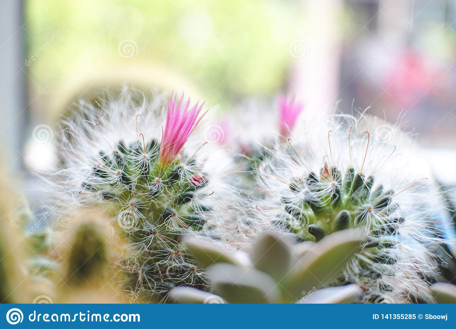 Mini Cactus met roze bloeminstallatie op de pot