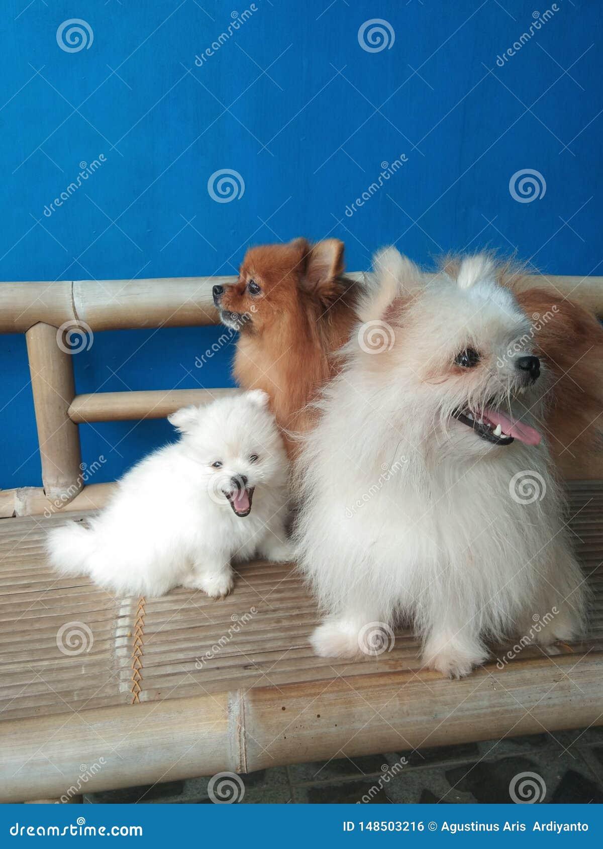 Mini chien de Pomeranian