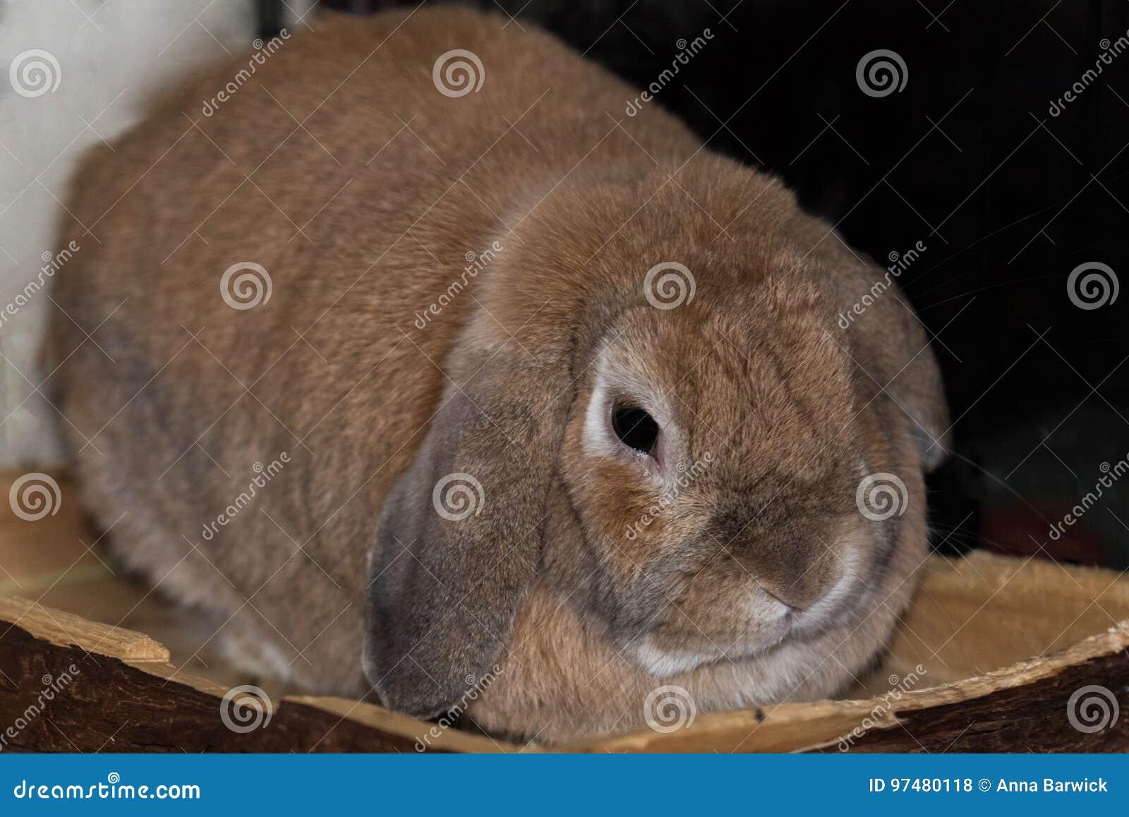 Mini coniglio dalle orecchie pendenti del Fawn