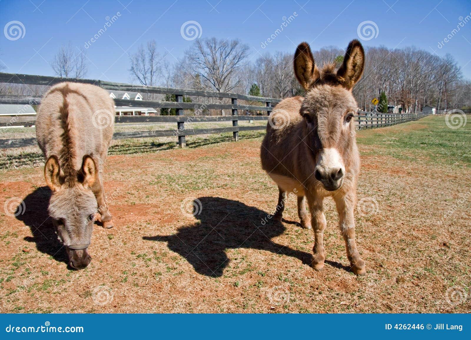 Mini Donkeys stock photo  Image of pregnant, pasture, outside - 4262446