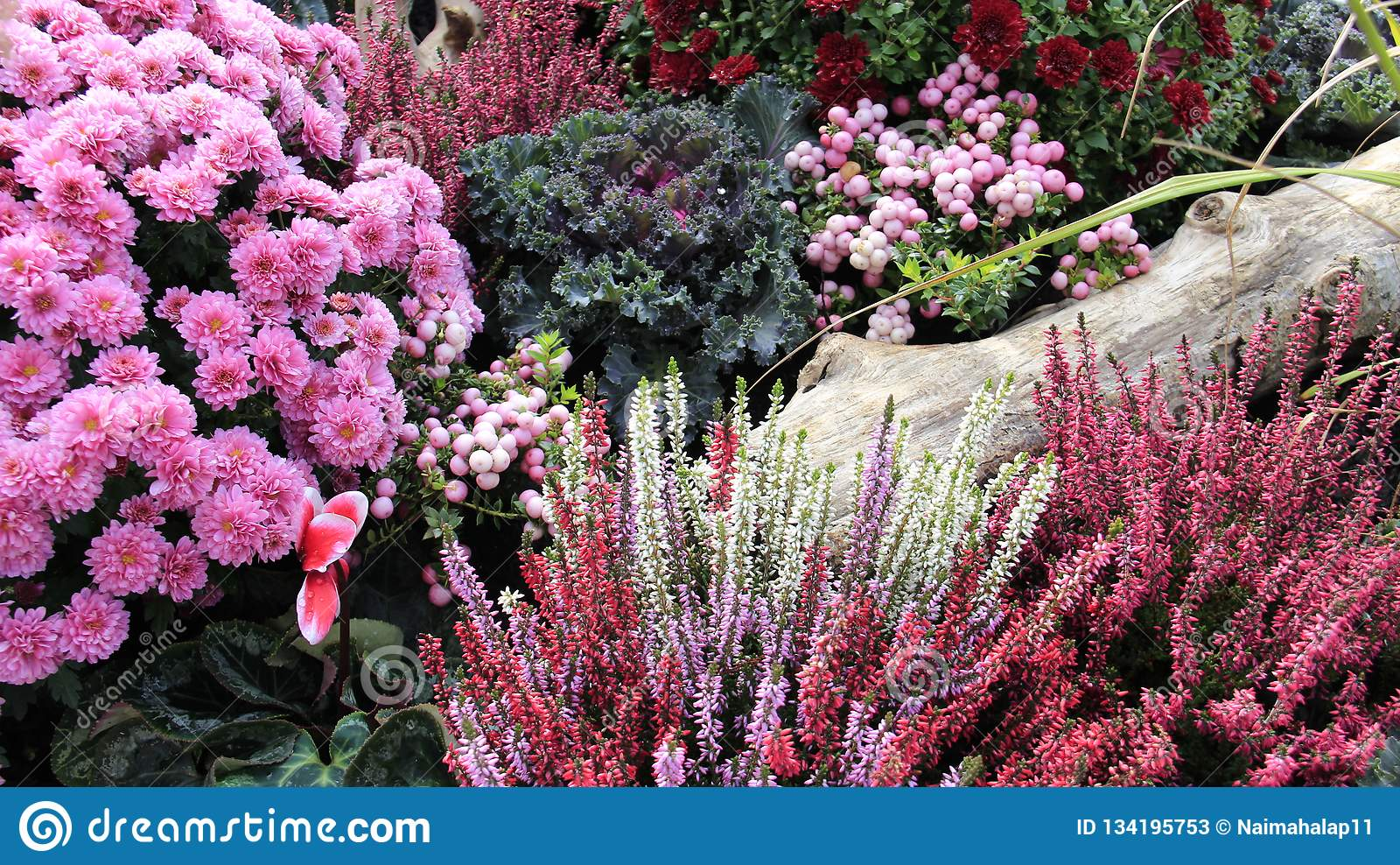 Mini Garden Sweet Flowering Blooming Pink Violet Chrysanthemums