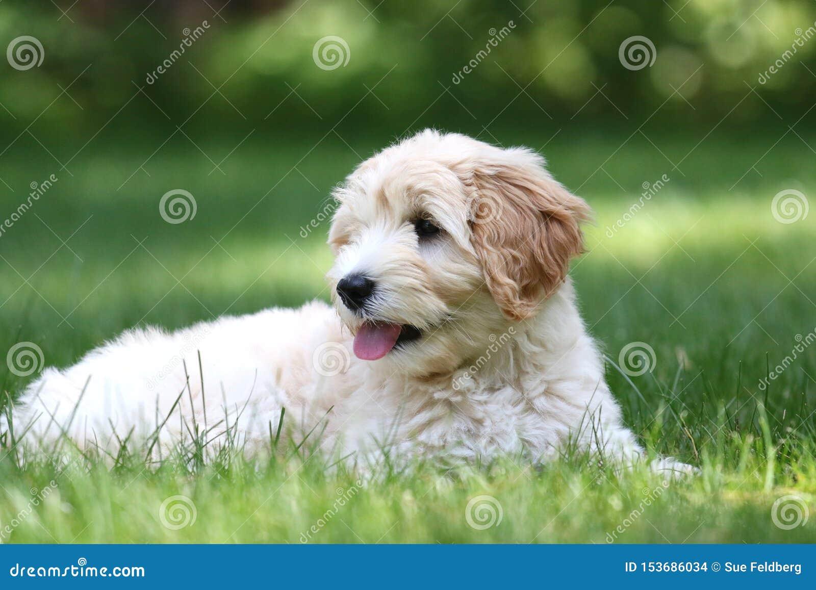 Mini Golden Doodle Puppy Lying en un patio trasero