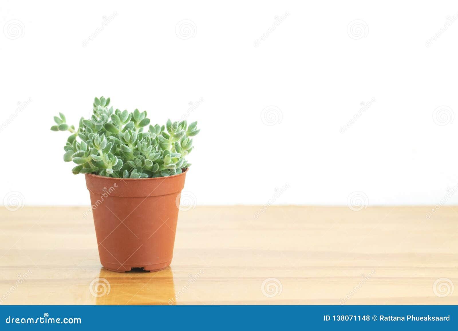 Mini Green Crassula Succulent Flowering plant Pot
