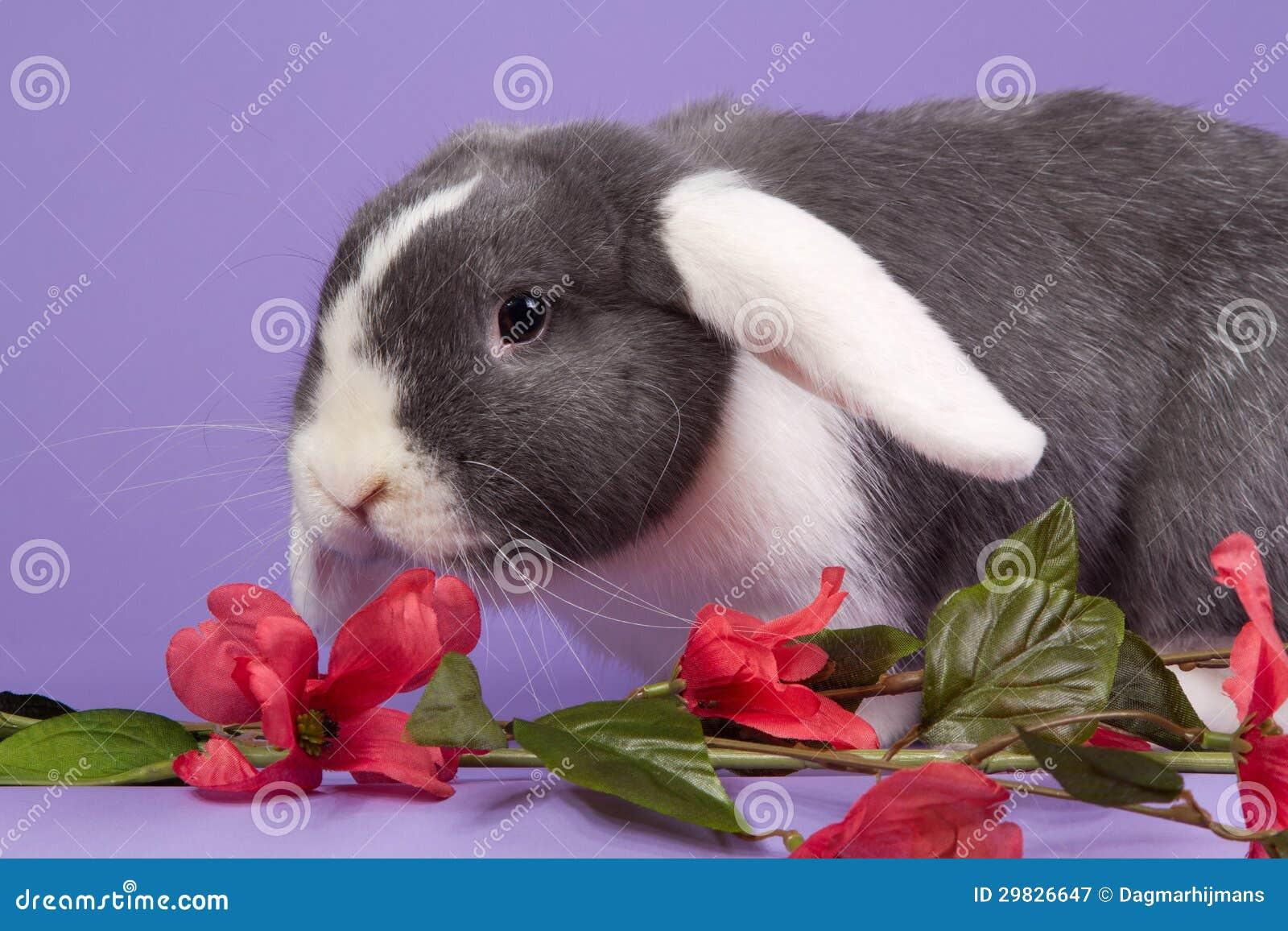 Mini-lop o coelho com flores cor-de-rosa