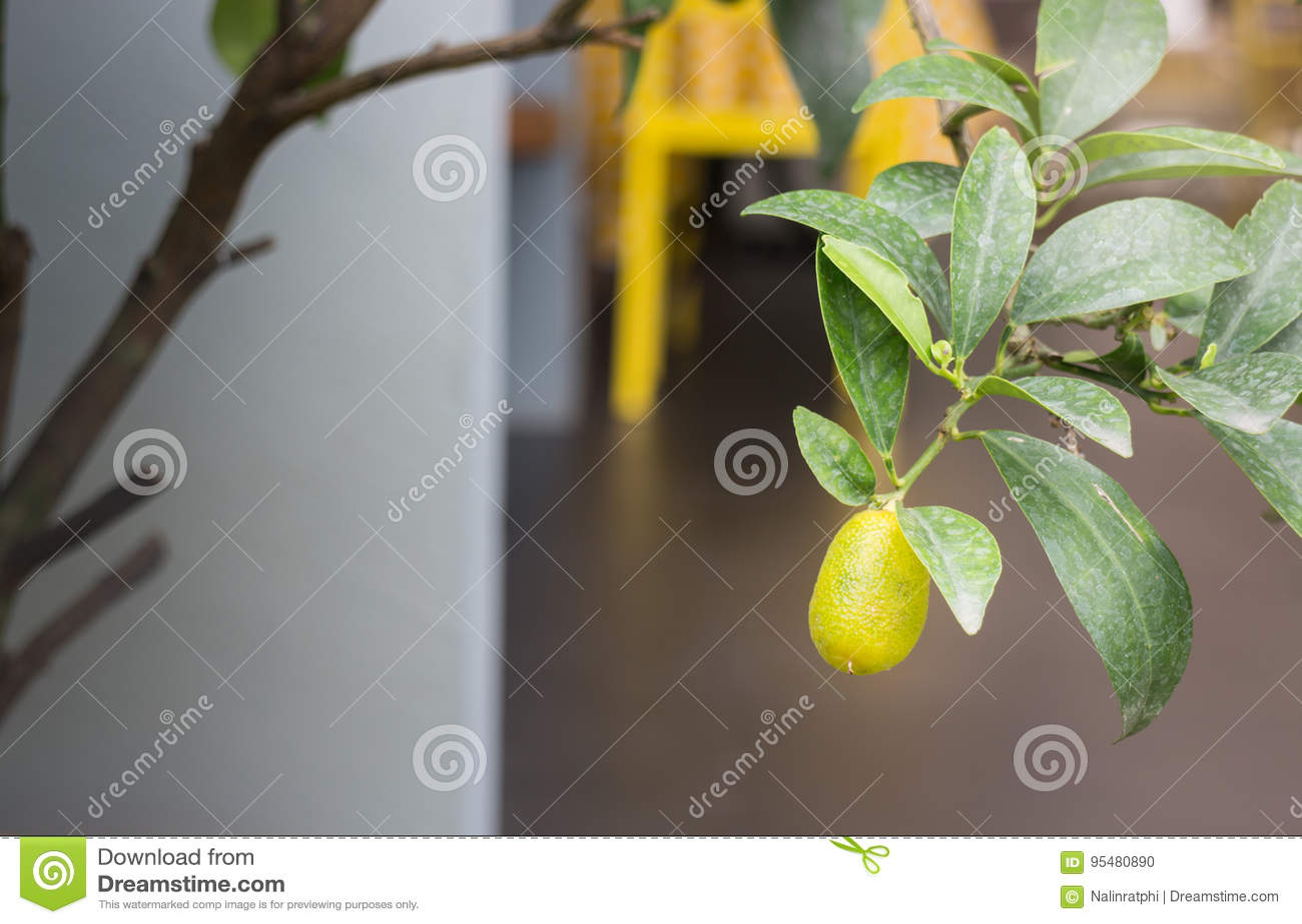 Mini ogrodowa roślina z pomarańczową owoc