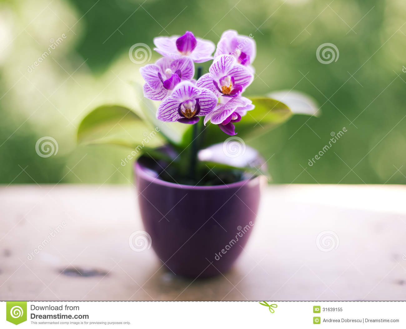 Mini Orchid Royalty Free Stock Photo Image 31639155