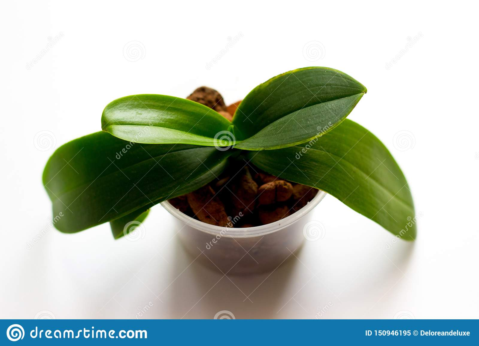 Mini Orchid In A Pot On A White Background Stock Image Image Of