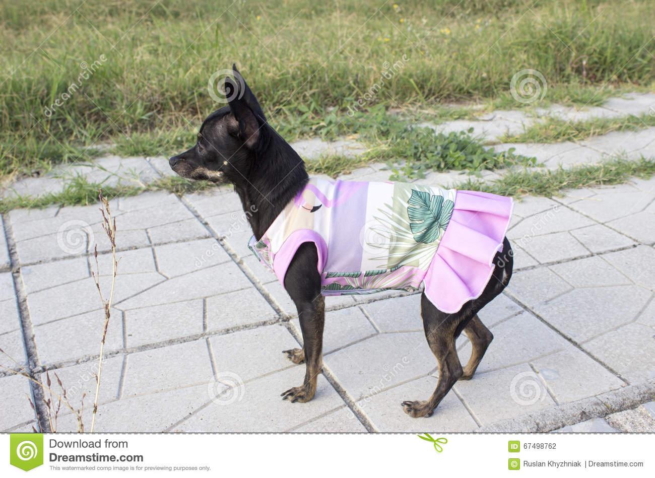 Mini pincher dog in a dress