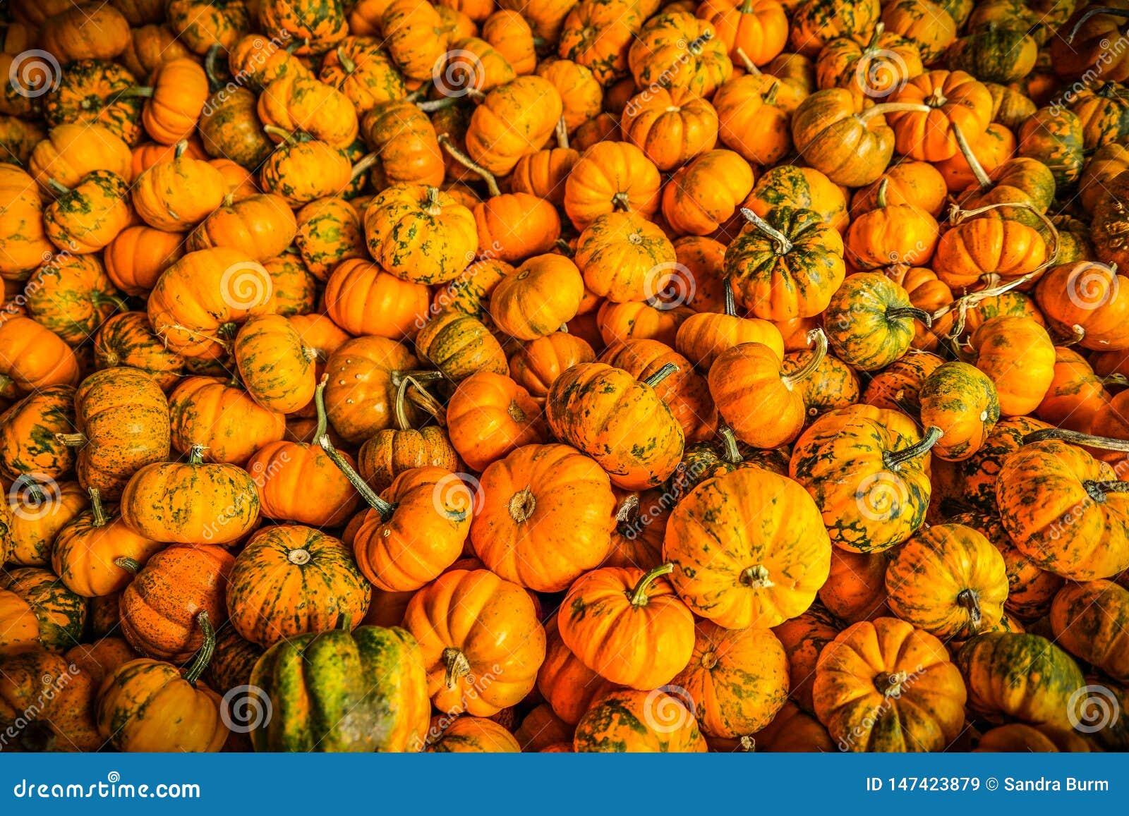Mini potirons en automne