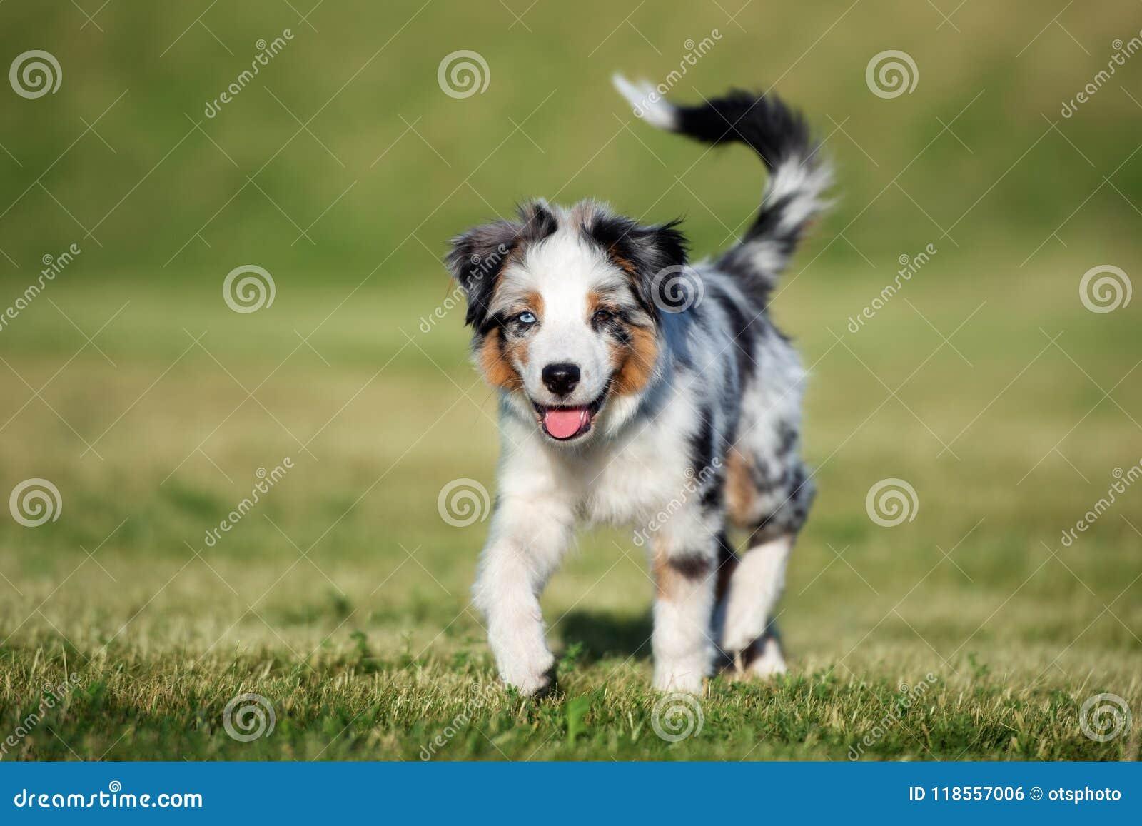 Miniature Australian Shepherd Puppy Outdoors In Summer Stock Photo Image Of Park Aussie 118557006