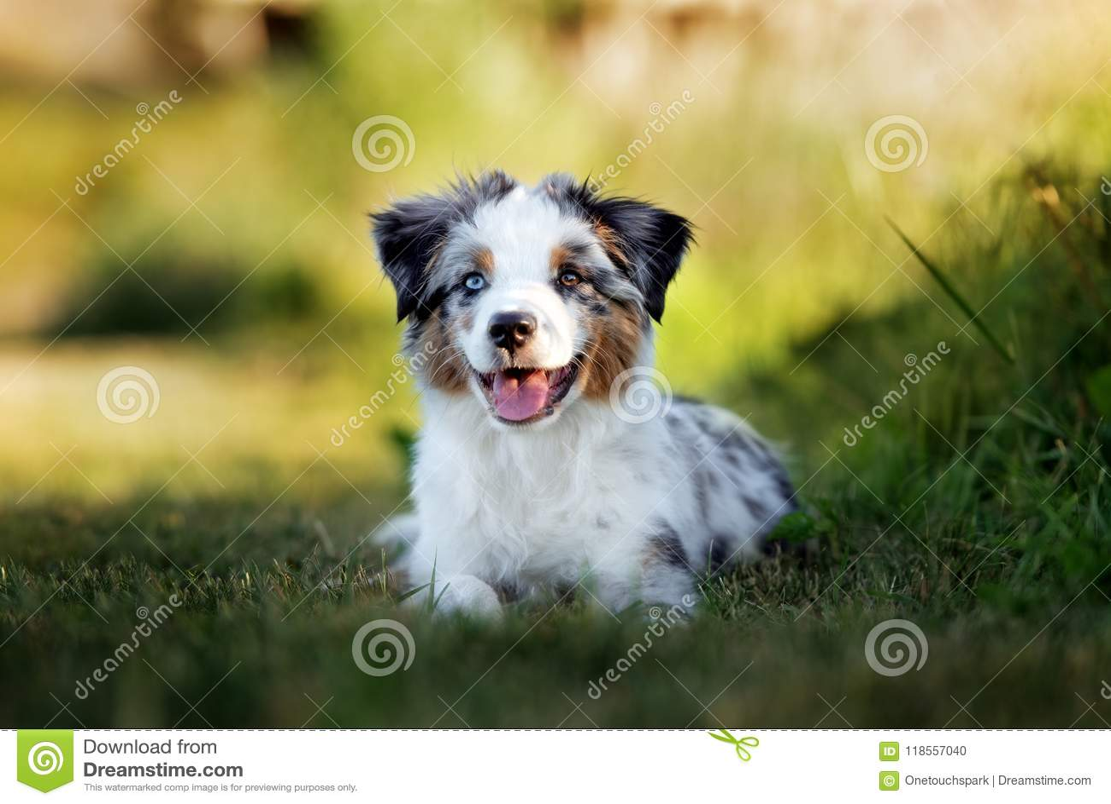 Miniature Australian Shepherd Puppy Outdoors In Summer Stock Photo Image Of Resting Aussie 118557040