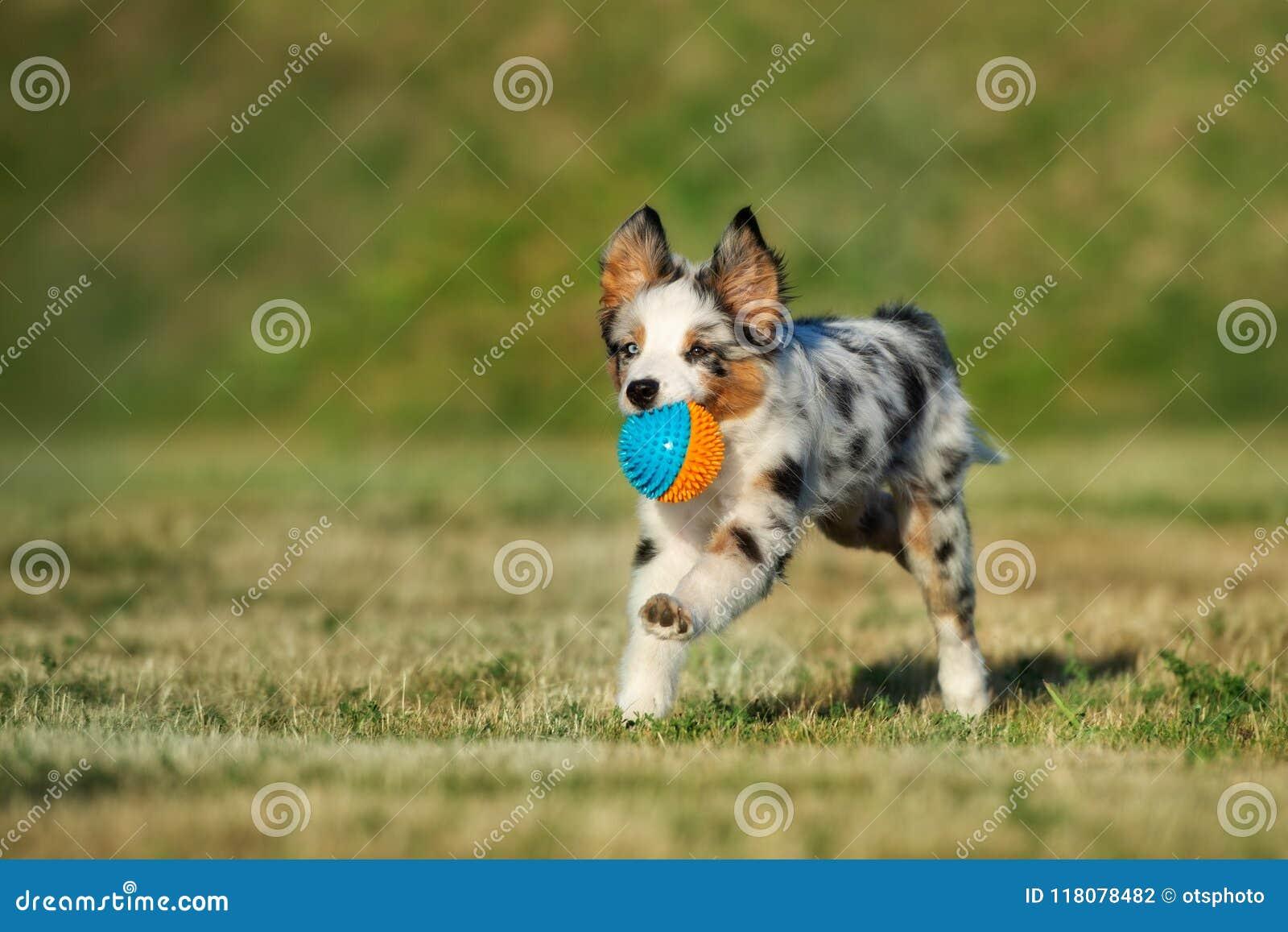 Miniature Australian Shepherd Puppy Running In Summer Stock Photo Image Of Outdoors Australian 118078482