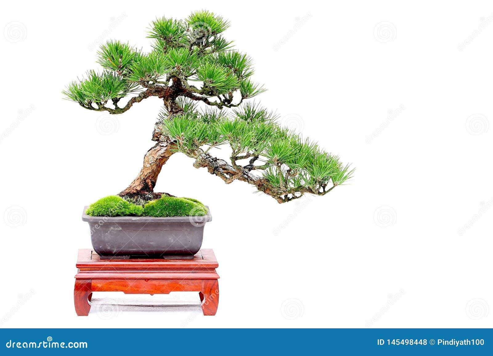 Miniature Bonsai Plant Japanese Black Pine Or Pinus Thunbergii Stock Photo Image Of Shrub Potted 145498448