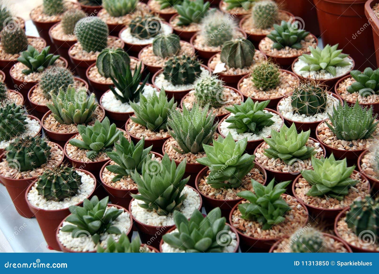 miniature cacti stock photo image 11313850. Black Bedroom Furniture Sets. Home Design Ideas