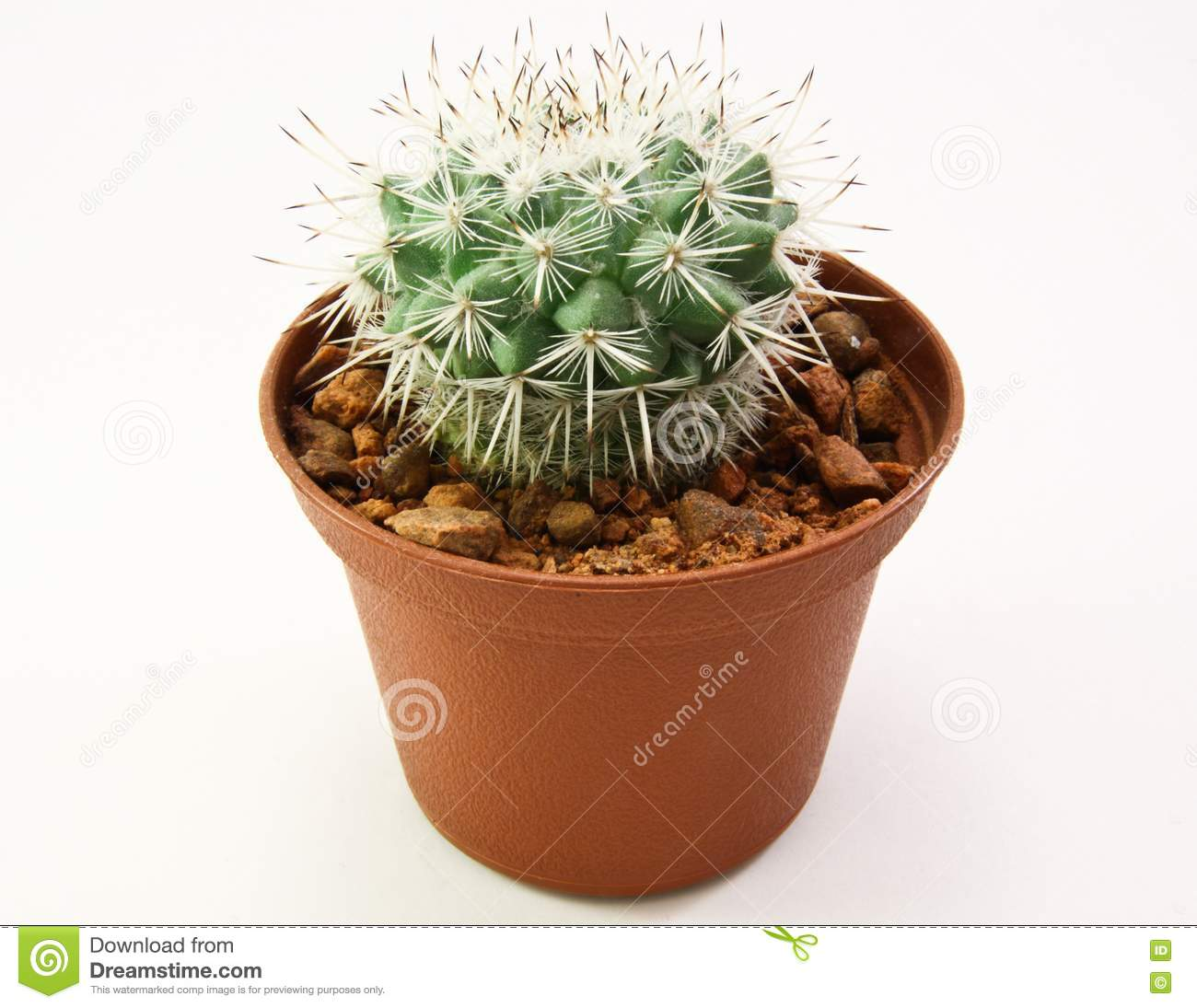 Miniature cactus plant in small pot royalty free stock Cactus pots for sale