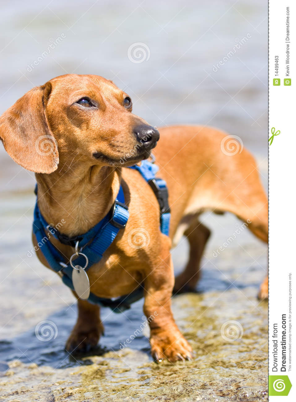 Miniature Dachshund With Blue Harness Stock Image Image