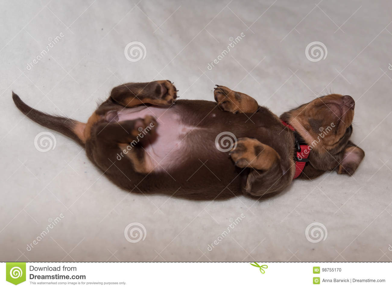 Miniature Dachshund Puppy On Fluffy White Blanket Stock Photo Image Of Adorable Puppy 98755170