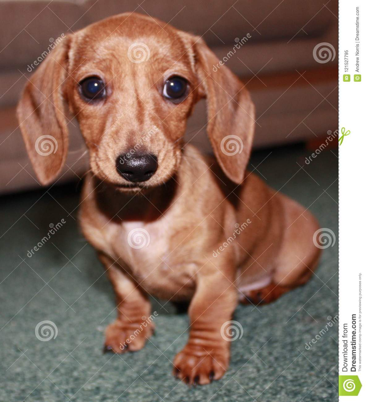 Miniature Dachshund Puppy Stock Image Image Of Black 121527795