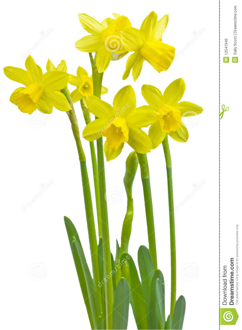 Miniature Daffodils Royalty Free Stock Photo - Image: 12541945