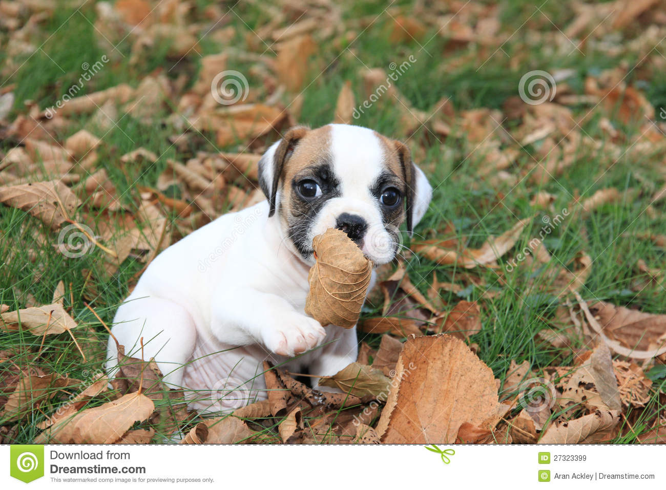 Miniature English Bulldog Puppy Stock Image - Image of cute
