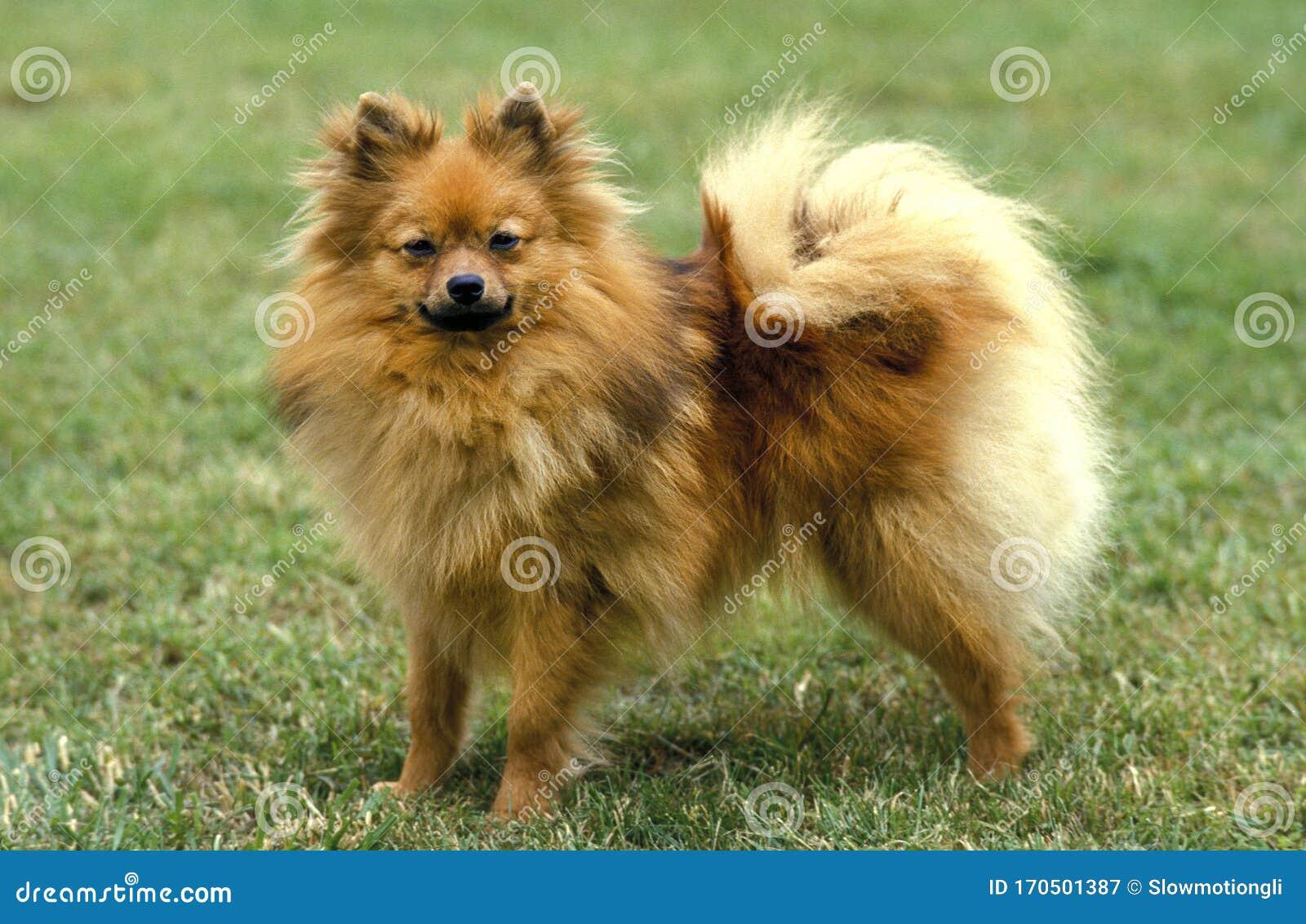 Spitz Nain Stock Image Image Of Companion Animal Miniature 170501387