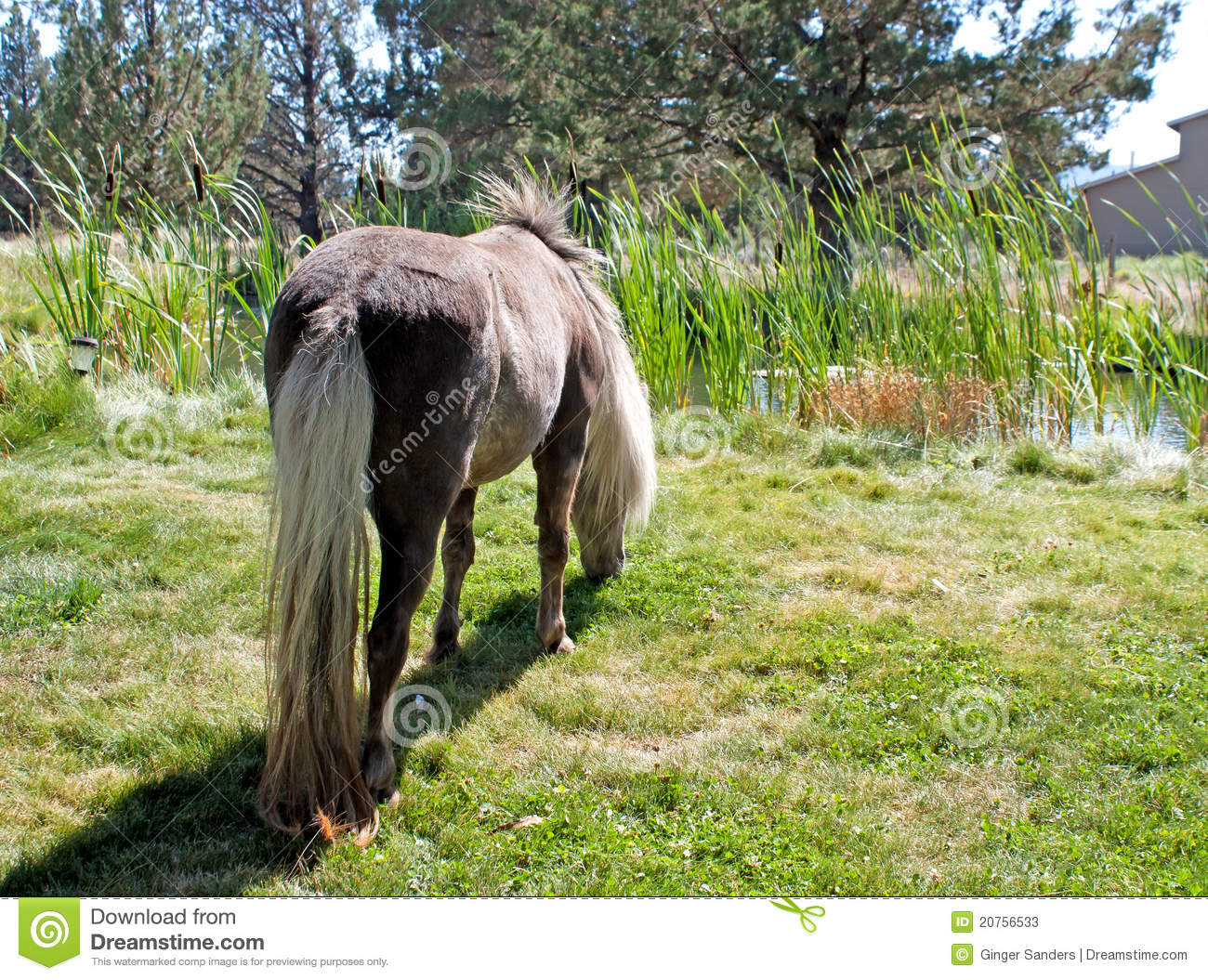 Miniature Horse Grazing By Pond