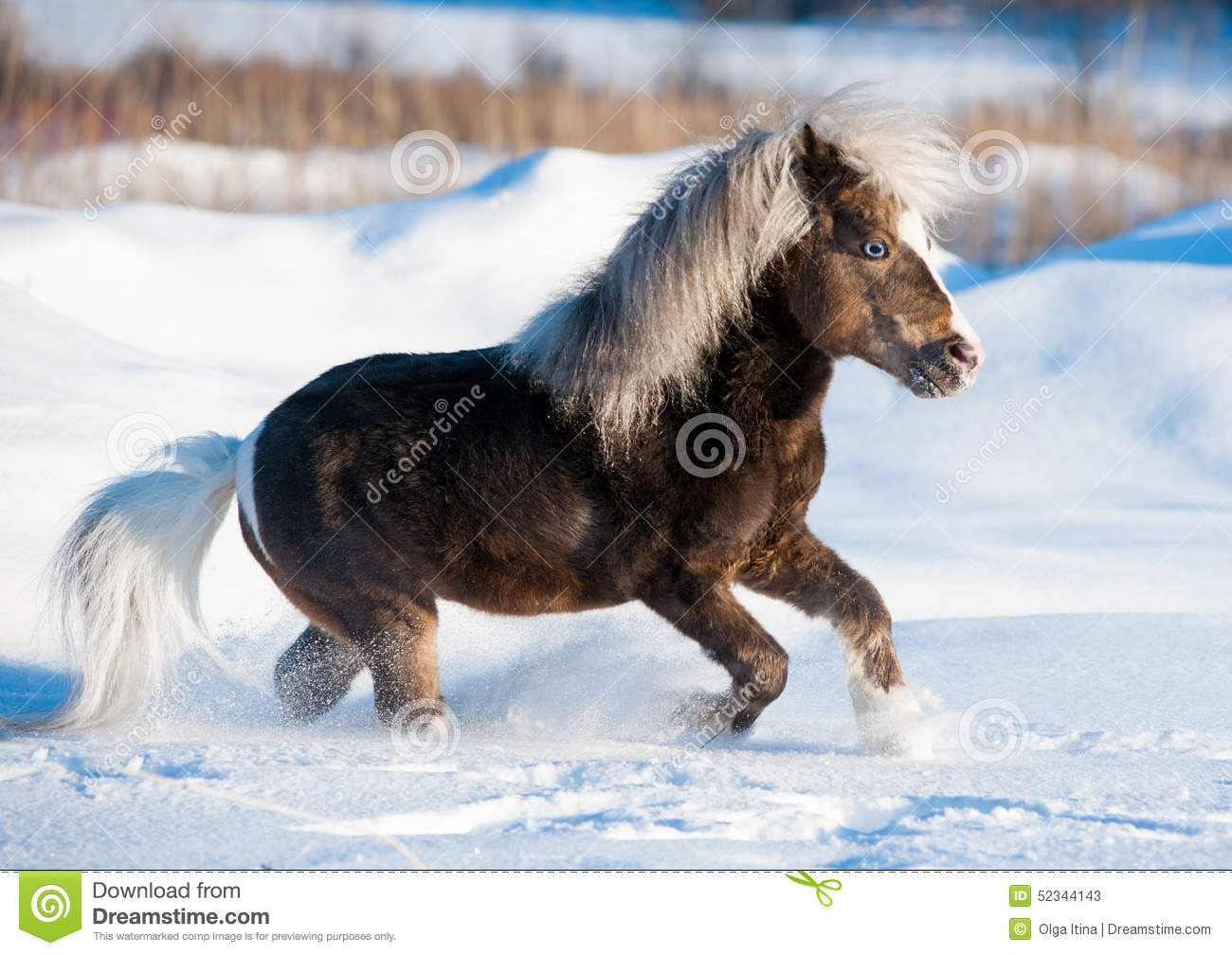 Miniature horse running in the snow in field