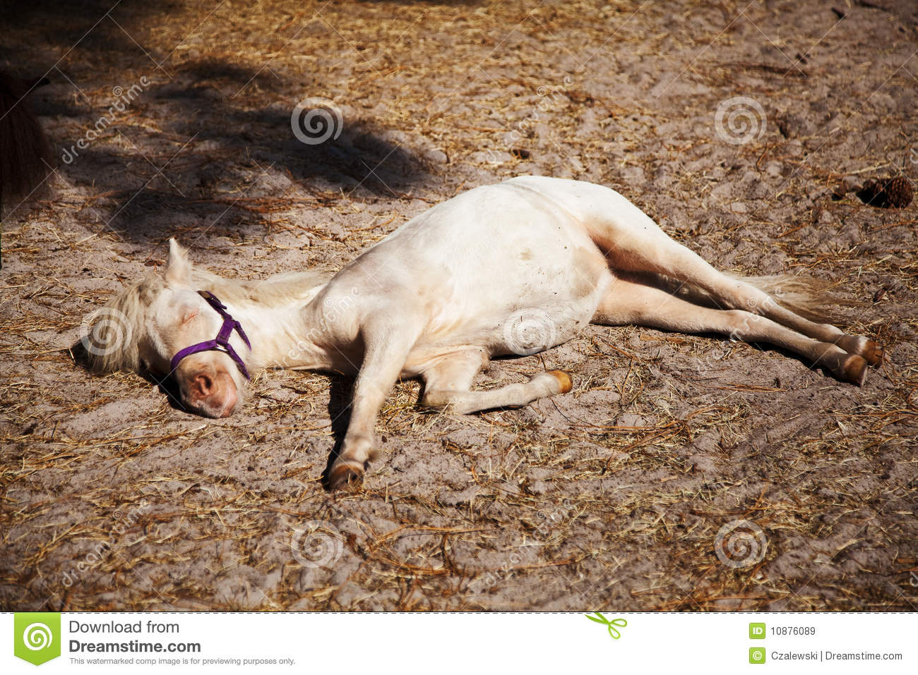 Miniature horse taking an afternoon nap