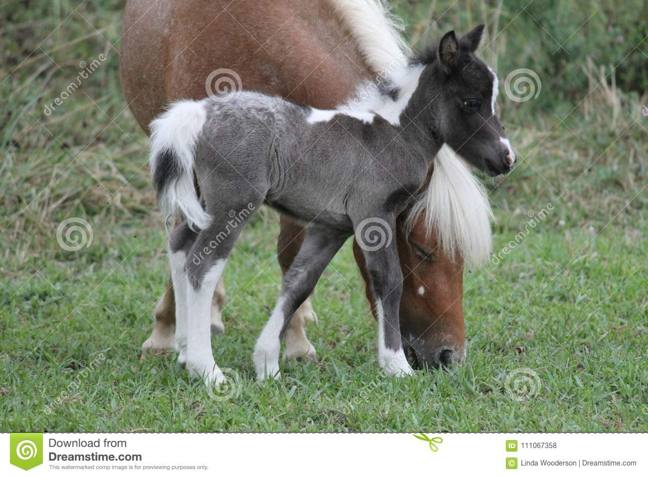Baby Miniature Horse Standing By Mother S Head Stock Photo Image Of Grey Palomino 111067358