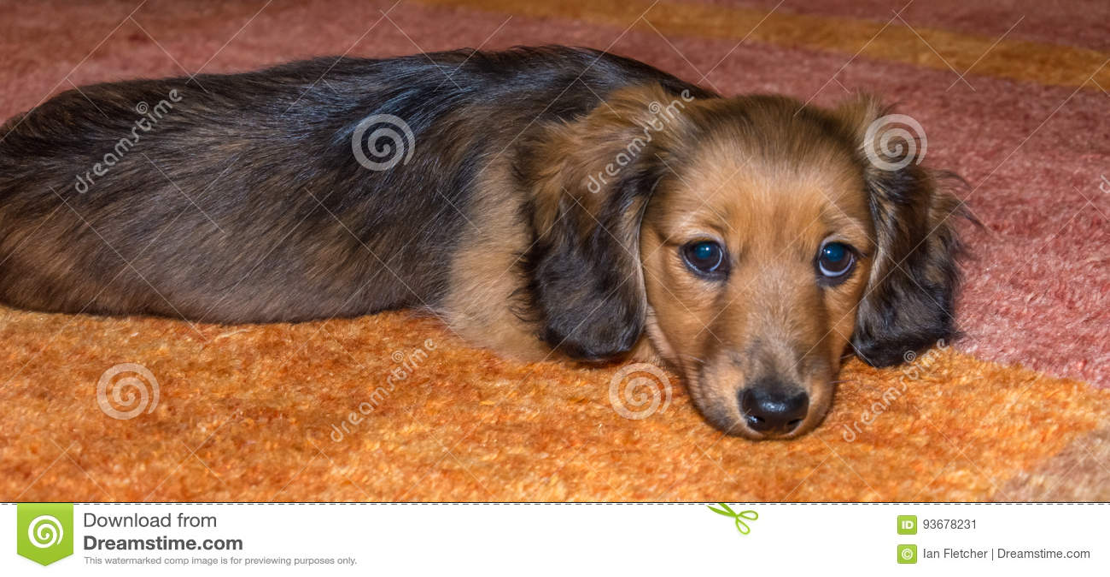 Miniature Long Haired Dachshund Stock Image Image Of Carpet Eyes 93678231
