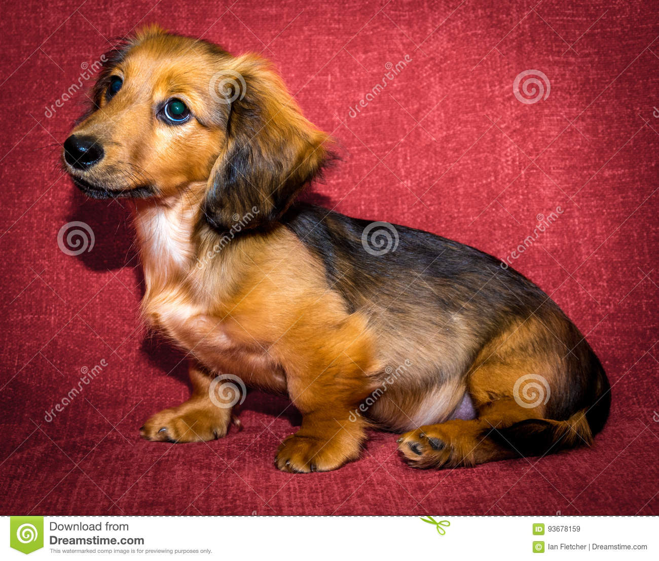 Miniature Long Haired Dachshund Stock Image Image Of Cute Puppy 93678159