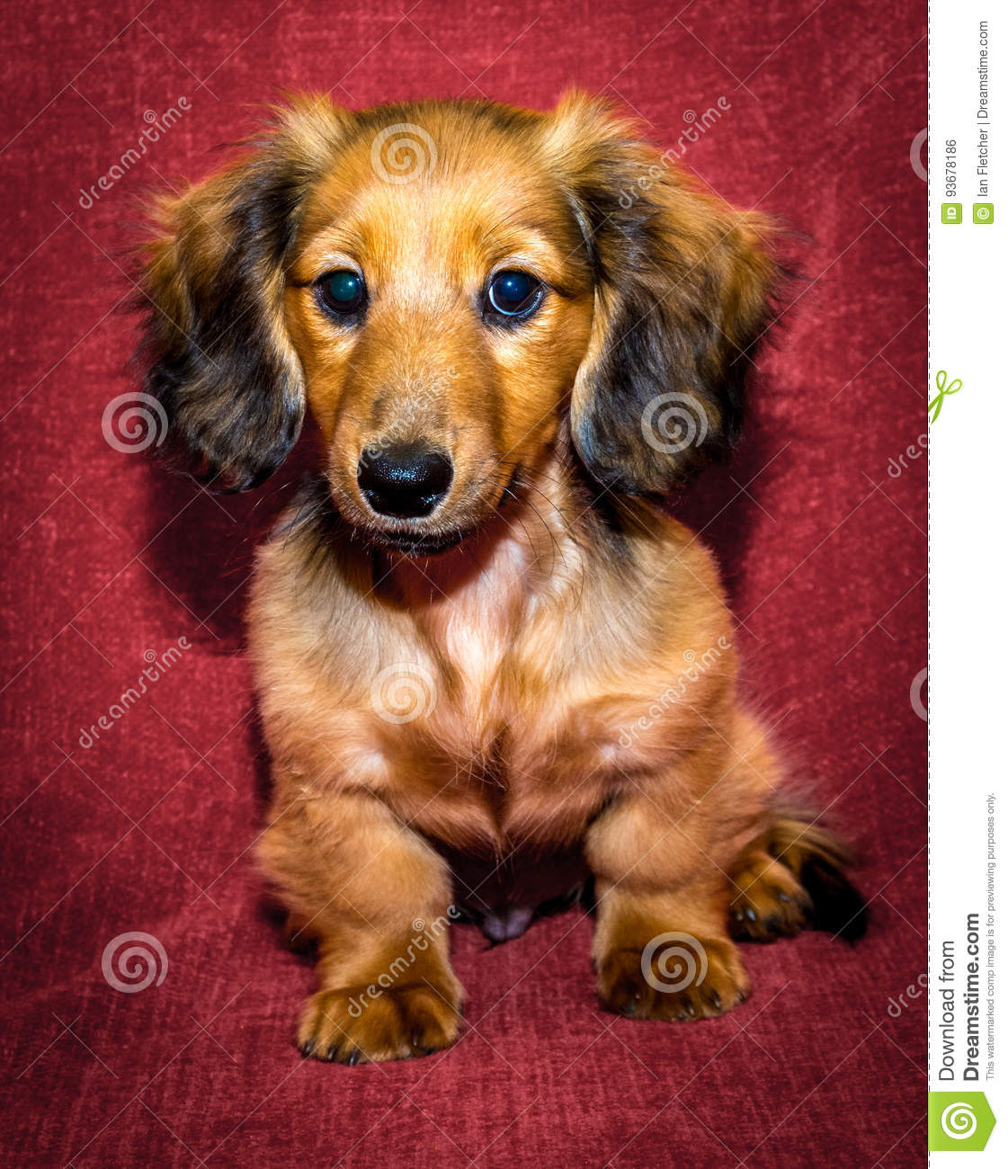 Miniature Long Haired Dachshund Stock Photo Image Of Background Cute 93678186