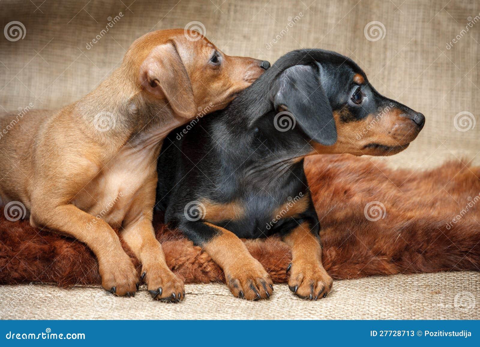 pin miniature pinscher pup - photo #27