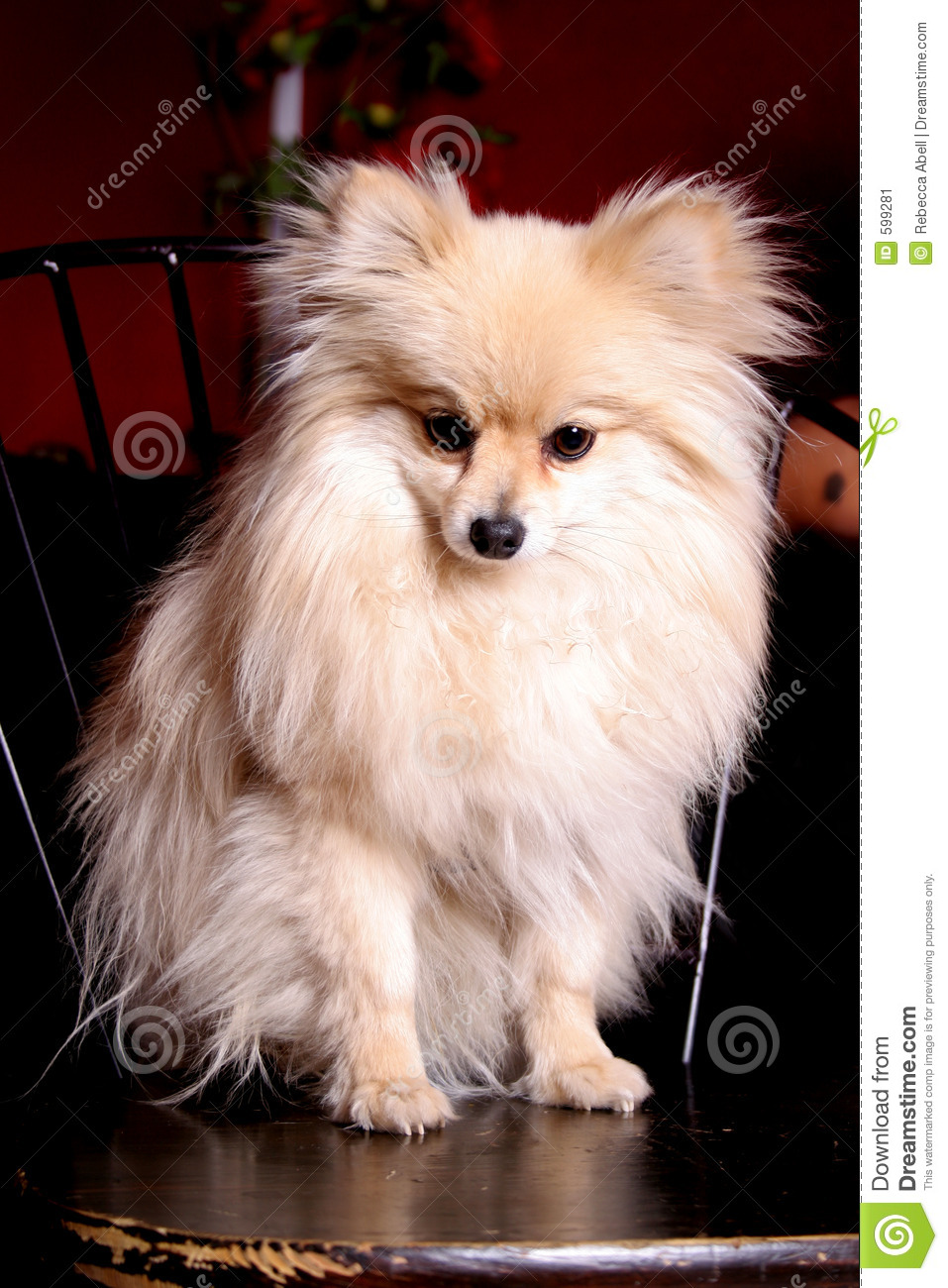 Miniature Pomeranian Stock Image Image Of Bred Full