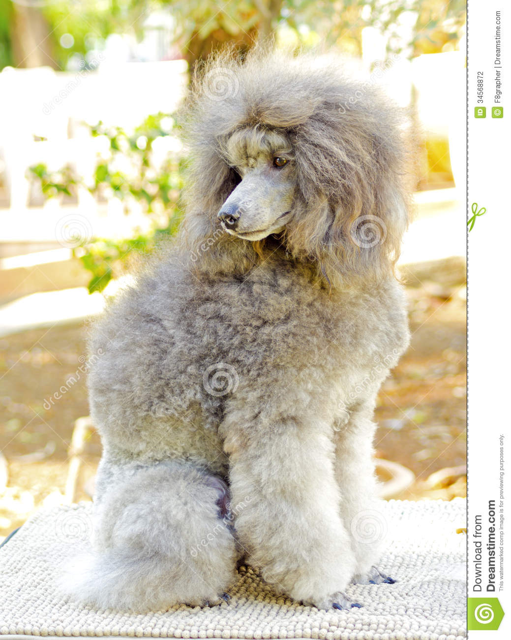 up of a small beautiful and adorable silver gray Miniature Poodle ...
