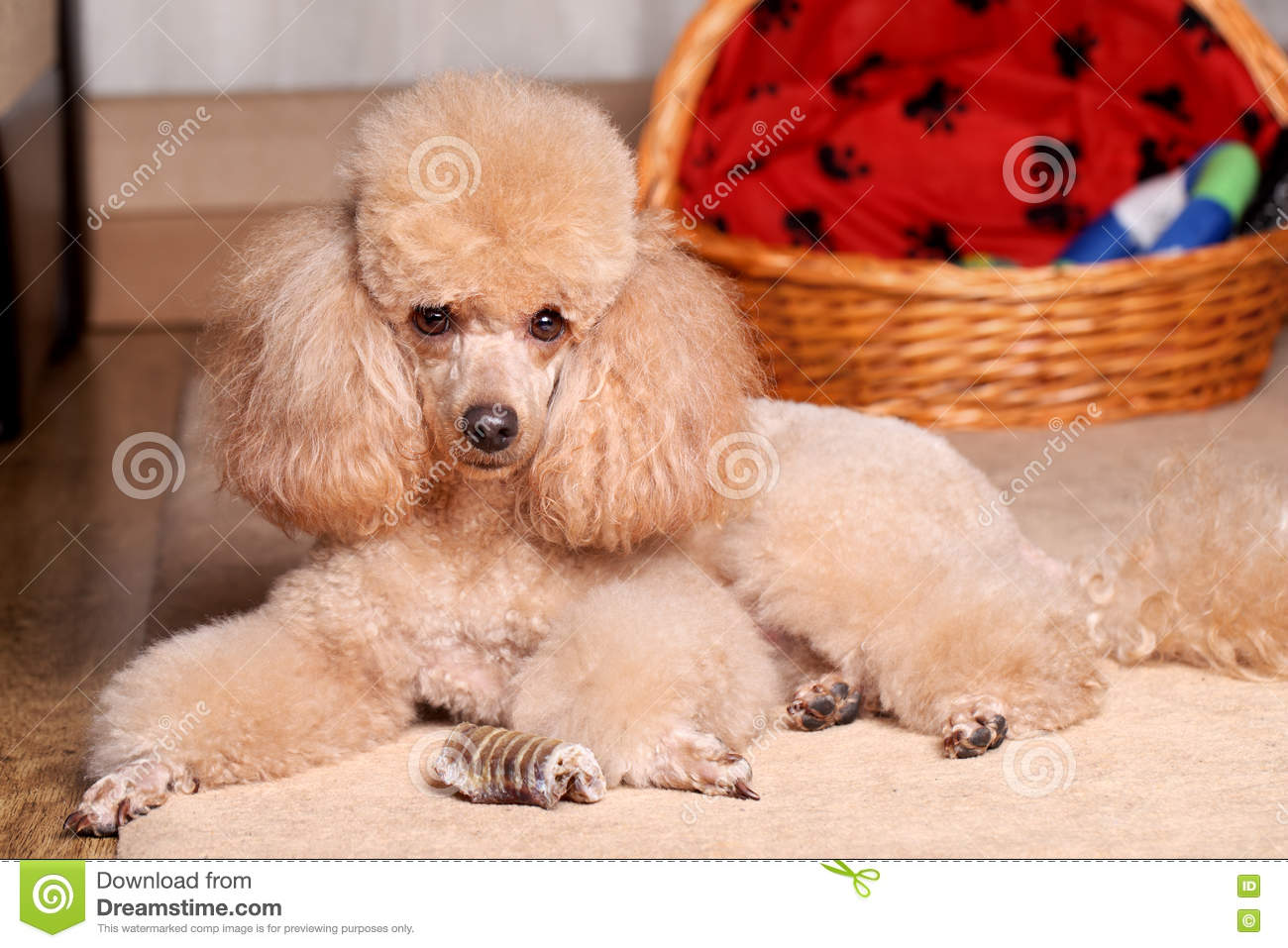 Miniature Poodle and dry bone