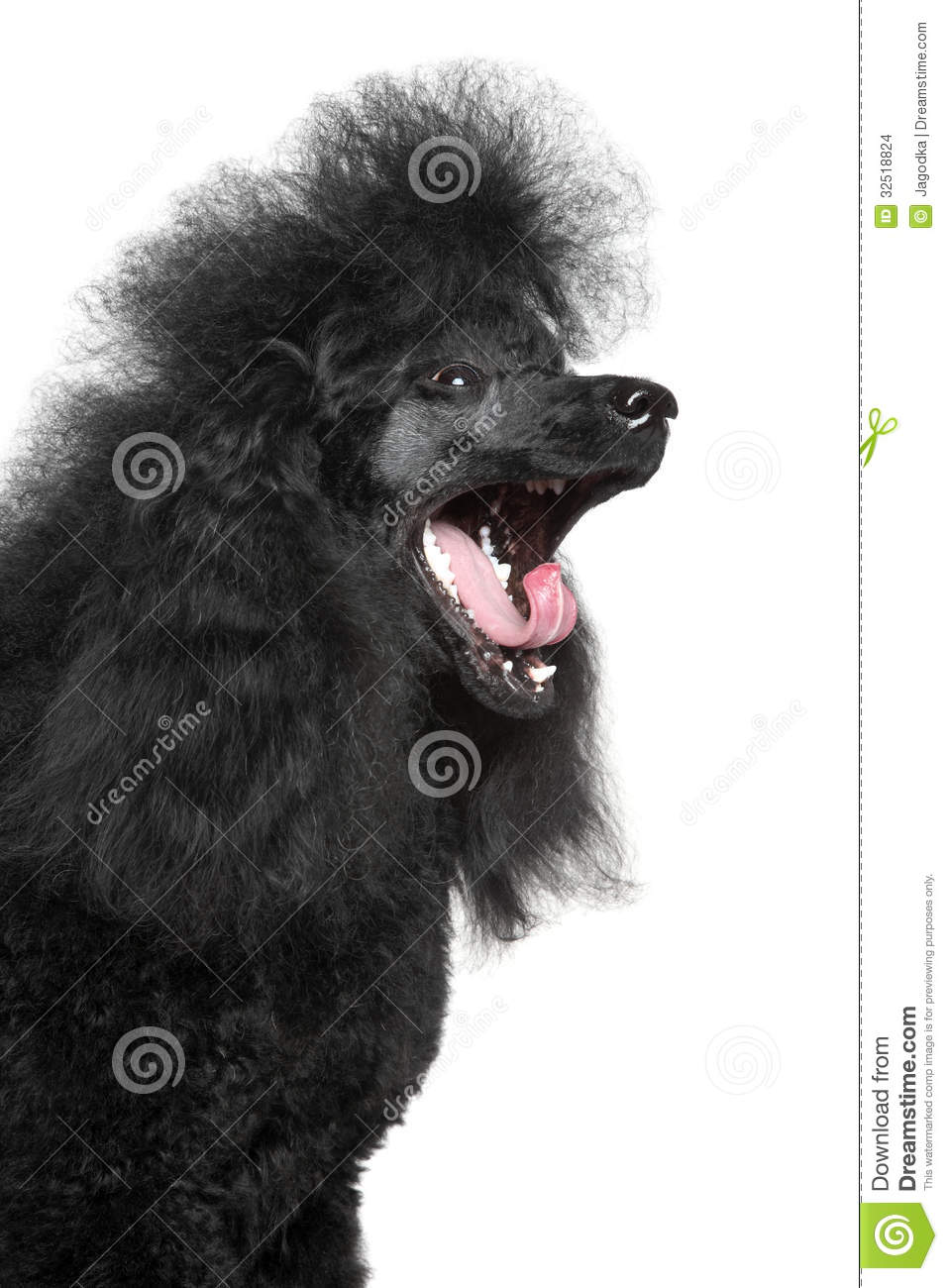 Miniature Poodle Yawn On White Background Stock Images