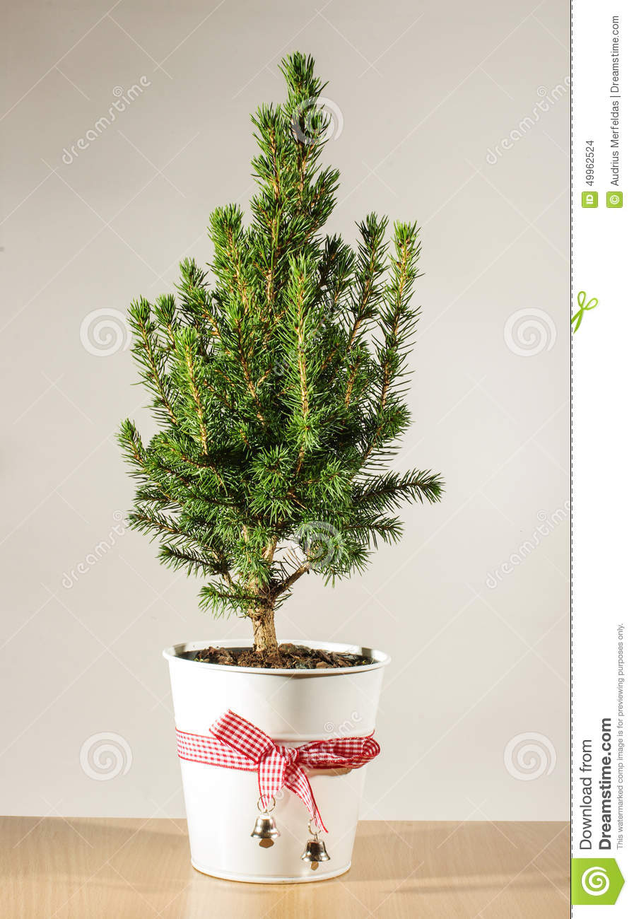 Miniature Potted Christmas Tree On The Table Stock Photo