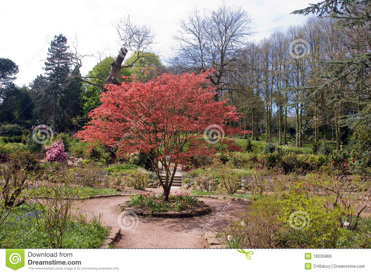 Miniature Red Maple Bush Stock Image Image Of Flora 18035869
