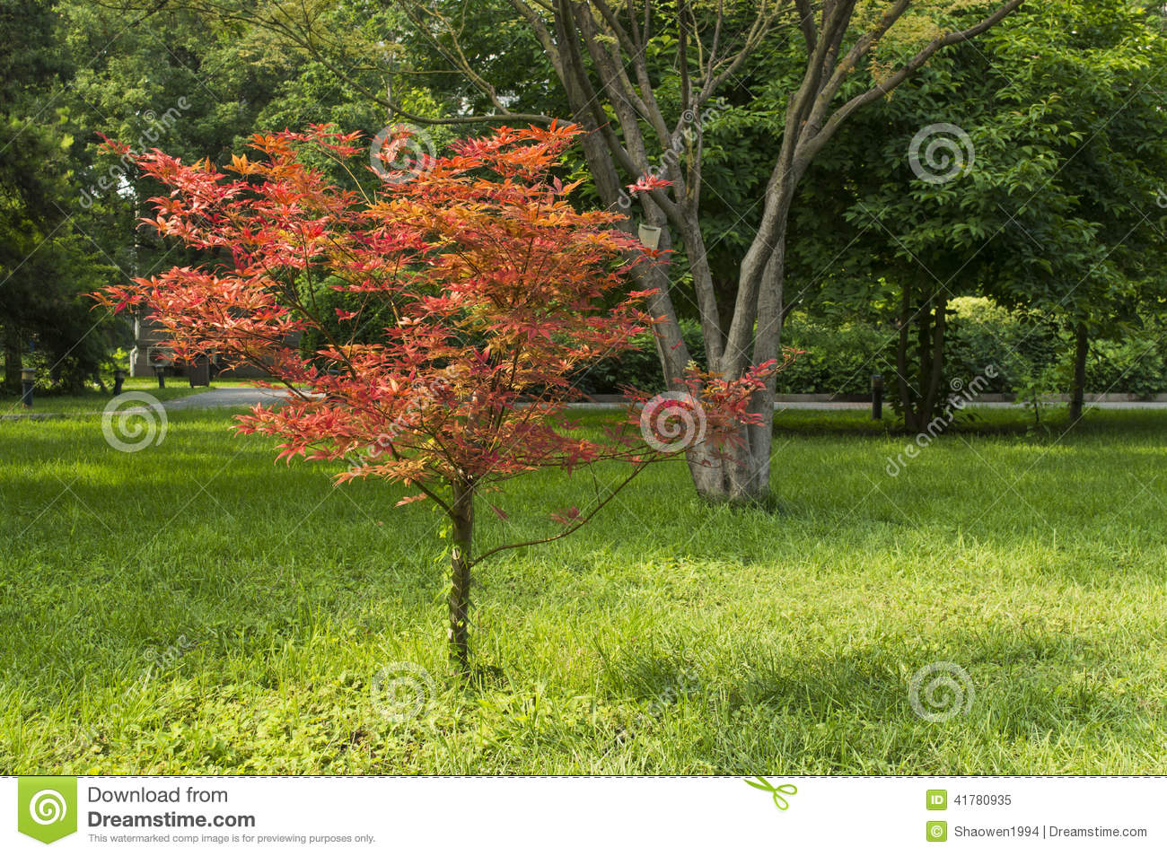 Miniature Red Maple Stock Image Image Of Flora Branch 41780935