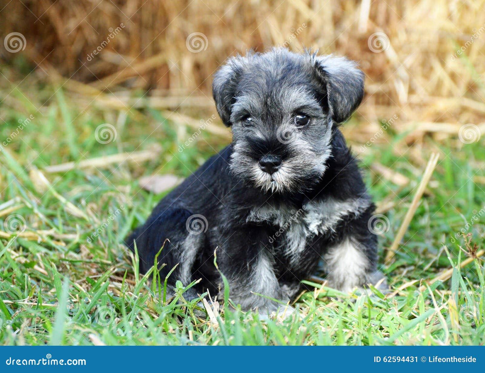Miniature Schnauzer black and silver puppy dog outdoors portrait
