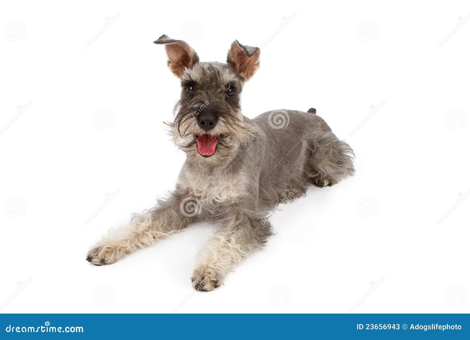 Miniature schnauzer dog laying down stock photos image 23656943
