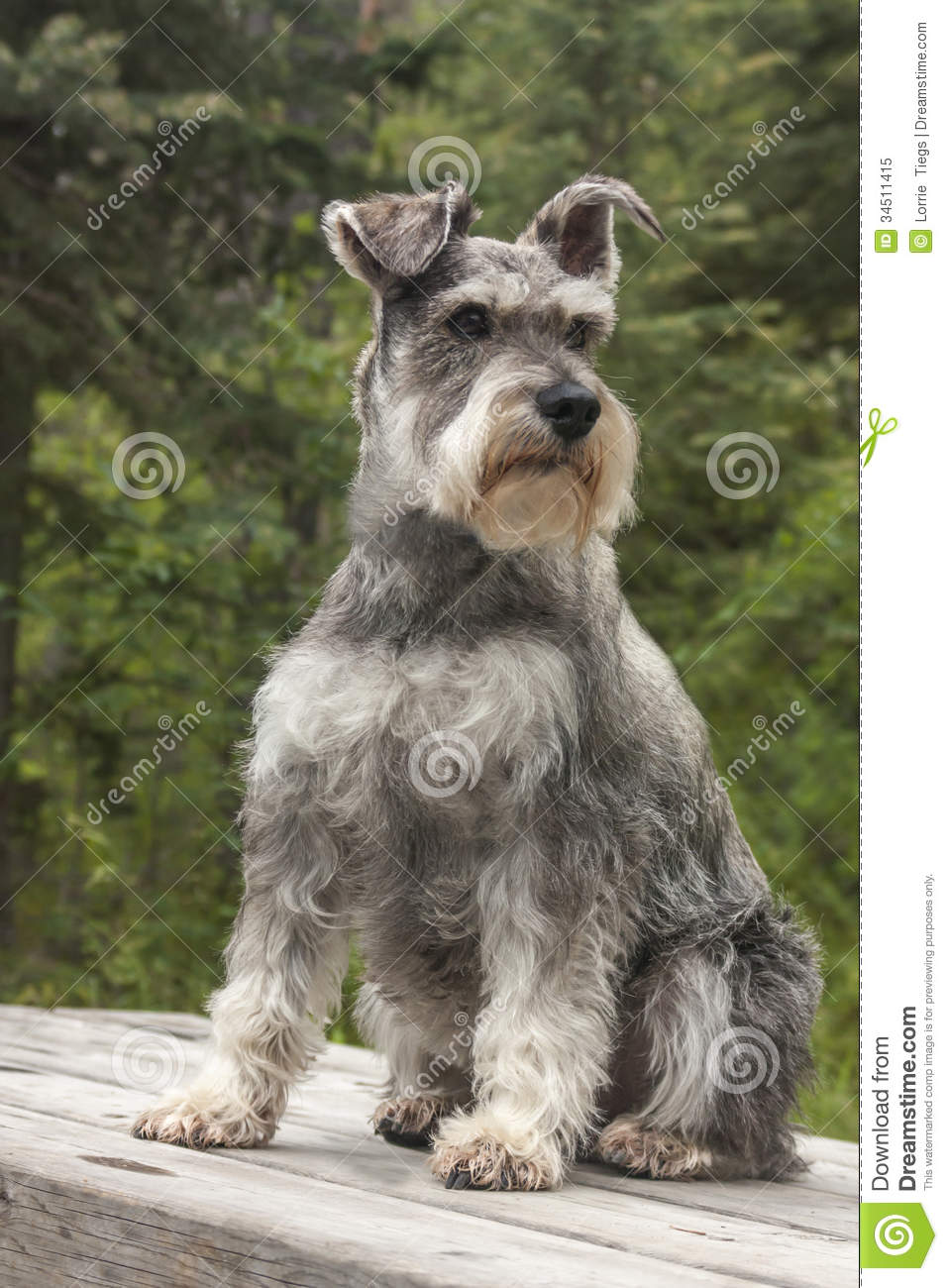 Miniature Schnauzer Dog Sits On Table Stock Image Image