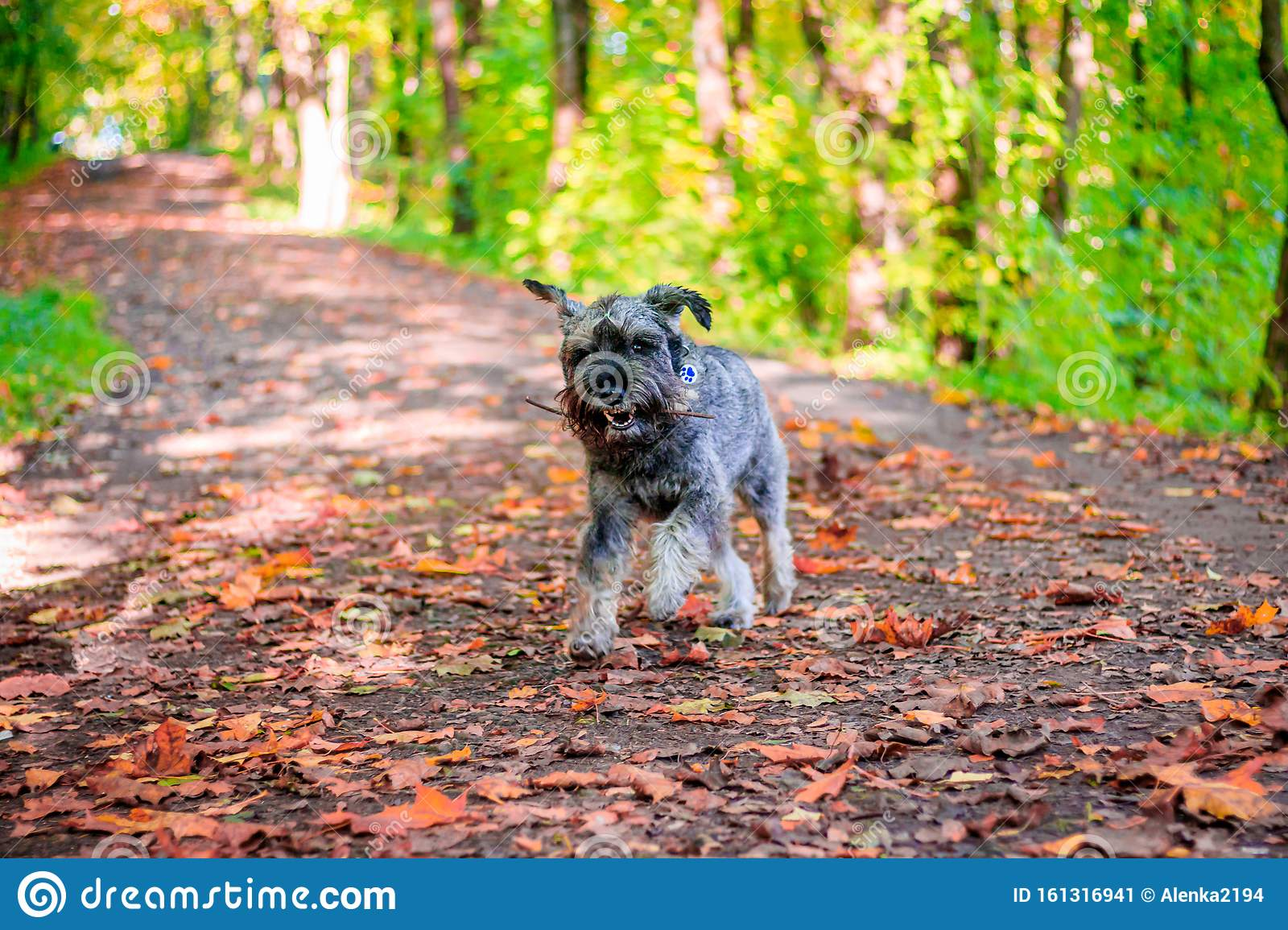 Miniature Schnauzer Dog For A Walk In The Autumn Park Dog With A Haircut For A Walk Dog On A Walk Stock Image Image Of Mountain Landscape 161316941